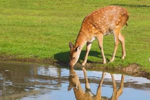 female deer drinking