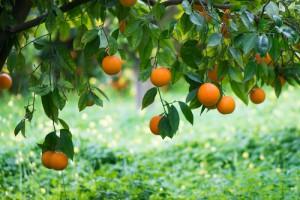 Orange on a tree branch